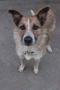 Meet Wiley, a Petfinder adoptable Terrier Dog | Enfield, CT | Say Hello to Wiley! Wiley, surprisingly is NOT a Coyote, but instead a Great Pyrenees/Terrier...