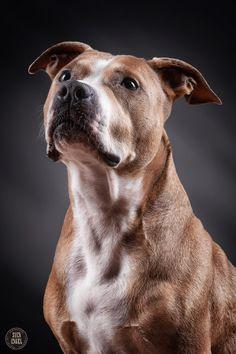 "Staffordshire Bullterrier ""Aiko"" by Sven Engel on 500px"