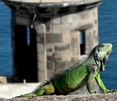 .      San Juan, El Morro Iguana  submitted by: klemannlee      Creepicrawlies posted my Puerto Rican Iguana. :)