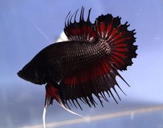 Black, Red, Crowntail Plakat Betta, Male
