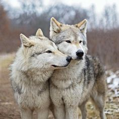 🐺If you Love Wolves, You Must Check The Link In Our Bio 🔥 Exclusive Wolf Related Products on Sale for a Limited Time Only! Tag a Wolf Lover! 📷: Please DM . No copyright infringement intended. All credit to the creators. Wolf Photos, Wolf Pictures, Beautiful Creatures, Animals Beautiful, Cute Animals, Wolf Spirit, My Spirit Animal, Two Wolves, Wolves Art