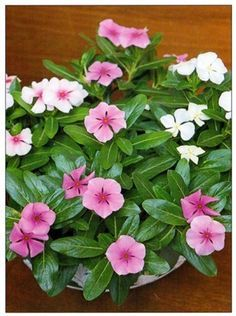 Madagascar Periwinkle is a charming plant with shiny foliage and pretty, five-petalled flowers. Given the right conditions, it is an excellent house plant which Periwinkle Plant, Periwinkle Flowers, Dry Garden, Garden Plants, House Plants, Exotic Flowers, Beautiful Flowers, Vinca Vine, Indoor Flowering Plants