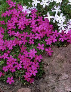 "Phlox douglasii 'Crackerjack'.  6-9"" compact dwarf. Seed. and easily propagated by terminal cuttings."