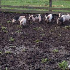 Pigs Pigs, Goats, Animals, Animales, Animaux, Pork, Animal, Animais, Little Pigs