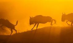 Wilderbeast, Mara Triangle, Masai Mara, Kenya. Photo by Mark Dumbleton Photography.