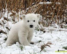 Het ijsbeertje Knut voor het eerst buiten, foto van Zoo Berlin.
