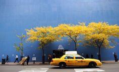 Un taxi jaune passe devant des arbres au feuillage d'automne jaune à New York, plantés devant un immeuble en rénovation.