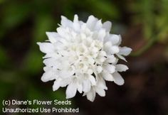Pincushion Flower, White  (Scabiosa atropurpurea) are a beautiful, pure white. These annual flowers are larger than perennial scabiosa. They bloom on tall stems from midsummer onward, attracting butterflies to the garden.