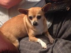 Meet Daisy Marie, a Petfinder adoptable Chihuahua Dog   Lake Jackson, TX   Daisy Marie has known great love in her 6 years. She has also experienced great sadness. She was...