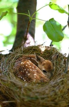 Springtime ~ I wonder what kind of bird built that nest that would be big enough for a newborn fawn! Too cute