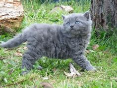 Selkirk Rex-so dang cute. A curly haired cat.....