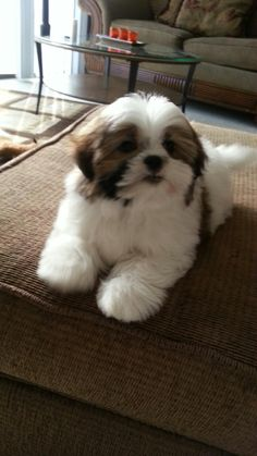 Shih Tzu Maltese Mix Adult Dnyrjh | Puppy Shih tzu ...