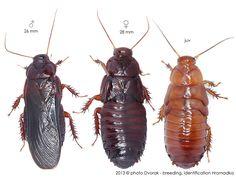 Salganea taiwanensis Roaches, Natural History, Life, Caterpillar, Insects, Animals