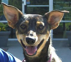 BREED: Miniature Pinscher Mix ESTIMATED BIRTH DATE: 02/2012 GENDER: Female WEIGHT: 23 lbs.  Joni -- ADOPTED!