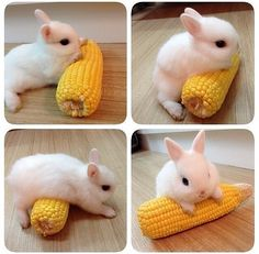 Bunny and corn: basically the way I feel about corn
