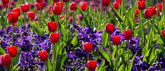 Our Bulb Buyer's Top Picks - Palmers Garden Centre Cut Flowers, White Flowers, Palmers Garden Centre, Dutch Iris, St Brigid, Deep Purple Color, Spring Bulbs, Spring Colors, Daffodils
