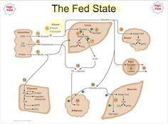 Fed State Metabolism