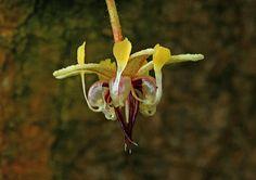 Flor de l'arbre del cacau (Theobroma cacao)