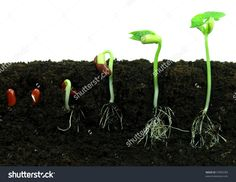 Germination of beans. Sequence of bean seeds germination in soil , Growing Seeds, Growing Plants, Hydroponic Growing, Easy Vegetables To Grow, Seed Germination, Weed Seeds, Marijuana Plants, Cannabis Growing, Organic Gardening Tips