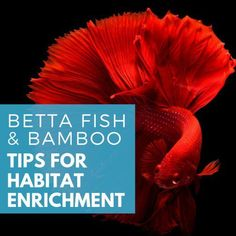 Bettas oder Betta Fish und Bamboo Living Together Planted Betta Tank, Planted Aquarium, Aquarium Fish, Colorful Fish, Tropical Fish, Indoor Water Garden, Betta Fish Care, Beta Fish, Siamese Fighting Fish