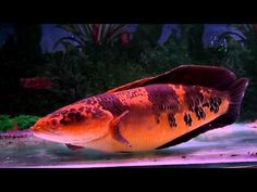 Channa Marulioides, also known as Toman Bunga in Malaysia. This short body beauty is 4 years old now. Scary Fish, Snakehead Fish, Coldwater Fish, Cichlid Aquarium, Monster Fishing, African Cichlids, Little Fish, Creature Concept, Freshwater Fish