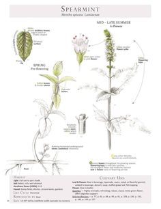 Spearrmint (Mentha spicata) from Foraging & Feasting: A Field Guide and Wild Food Cookbook, by Dina Falconi; illustrated by Wendy Hollender