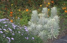Euphorbia characias ssp. wulfenii  SILVER SWAN 'Wilcott'; evergreen, hardy, xeric, about 2 feet tall.