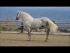 gavioto 20161101 www andalusianhorsedirect com - YouTube Andalusian Horse, Horses, World, Youtube, Animals, Animales, Animaux, Animal, The World