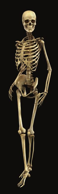 Print Quality Human Skeleton. Click to website for 1356x4500 pixel image.: