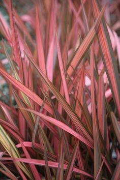 Buy New Zealand flax (syn. Rainbow Sunrise) Phormium 'Maori Sunrise': Delivery by Crocus.co.uk