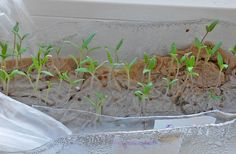 Easy way to start seeds without soil