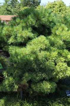 GOOD listing of both deciduous and some evergreen shrubs  Best Shrubs