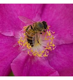 Bee-in-rose, photo by Carolyn Parker