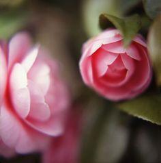 camellia soft