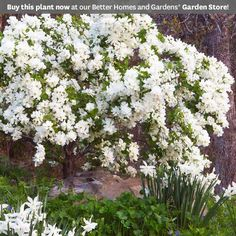 Snow Day 'Blizzard' Pearlbush  Celebrate spring with this white-flowering blooming shrub. 'Blizzard' is smothered with small white buds (which is how it gets its common name pearlbush). The tiny buds open up to showy, single-petal flowers. This deciduous shrub is an easy-care option for flowerbeds and landscape borders.