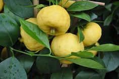 Mediterranean sweet lemon (Citrus limetta) by douneika, via Flickr