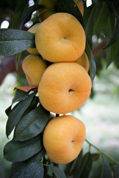 Yellow Flat Peaches