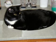 2008 Tuxedo Cats Picture Gallery - Black and White Cats Featured ...