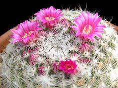 Mammillaria klissingiana (syn. M. brauneana) - Photo : Willy