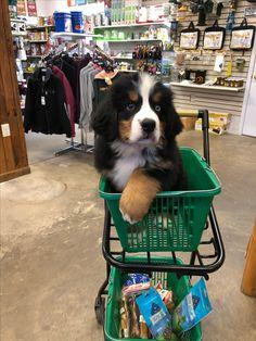 Add to Cart= 1 Bernese Mountain Dog Puppy