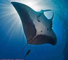 Manta ray numbers have suffered inthe wild as a result of irect harvesting, entanglement in nets and pollution in the oceans