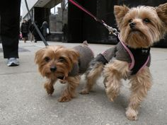 Girls on the Town •*¨*•.¸¸•*¨*•.¸¸Photo credit: Chicago Man http://flic.kr/p/9qE7KR   Found at: https://itsayorkielife.com/girls-on-the-town-photo-credit/  #Yorkies,#YorkshireTerrier,#YorkshireTerrierLove,#ItsaYorkieLife