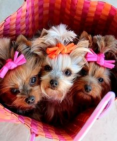 Cute Yorkies ♥ ___ Click the Link in my Bio <@jurale13> and what you will find there use it as a Gift.