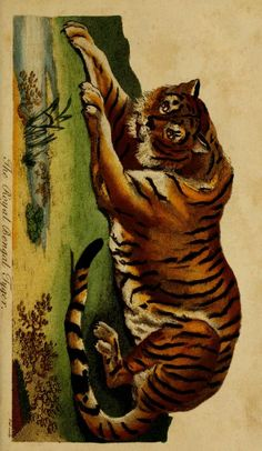 Bengal tiger, Universal System of Natural History: Including the natural history of man, Ebenezer Sibly & Carl von Linné, 1794.