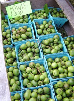 """About to plant kiwi berry plants in our front yard:  """"If you think kiwis are all brown, fuzzy and can be grown only in New Zealand or California, think again. Hardy Kiwi is zone 4 hardy and includes many cultivars that produce delectable fruit. Almost everyone who tastes this species says it's more delectable than the fuzzy kiwi, being sweeter but otherwise similar."""""""