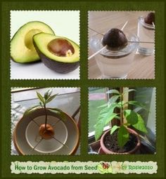 An Almost Foolproof Way to Grow an Avocado Plant from a Seed