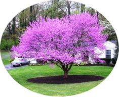 Redbud Tree. I want these on our property.
