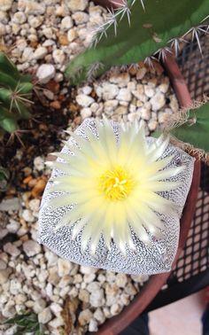 Flor de cactácea