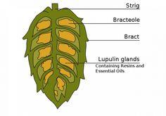 Hops are the female flower cones of the hop plant (Humulus lupulus). Hops Trellis, Hops Vine, Turmeric Golden Milk, Hops Plant, Beer Ingredients, Beer Brewery, Beer Recipes, How To Make Beer, Harvest Time