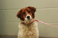 Cleo - Border Collie/Saint Bernard mix - 9 months old - Christian County Animal Shelter -  Hopkinsville, KY. - https://www.facebook.com/pages/Christian-County-Animal-Shelter/214216555270170 - https://www.petfinder.com/petdetail/31571530/